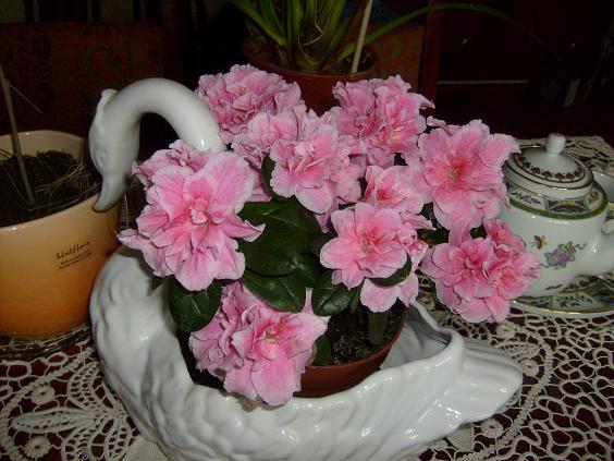 s6308928-azalee-roz