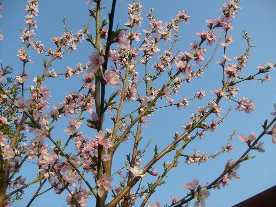 s6308955-de-florii-au-inflorit-piersicutii1
