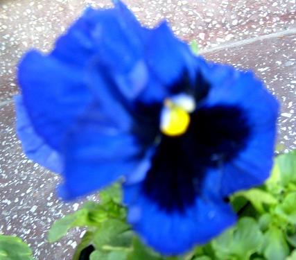 s6309182-panseluta-albastra