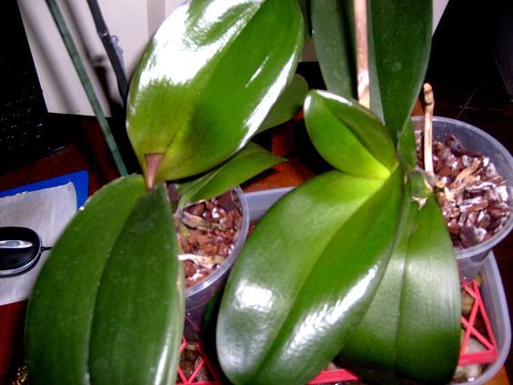 s6309801-orhideele-mele