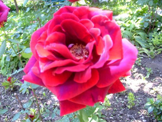 S6301128 trandafir
