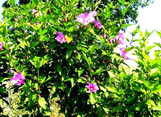 S6302046 hibiscus