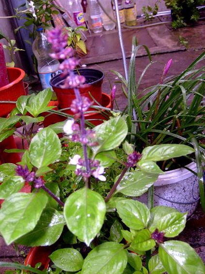 S6302094 inflorescenta lila