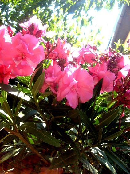 florile zilei