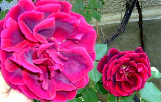 trandafirii