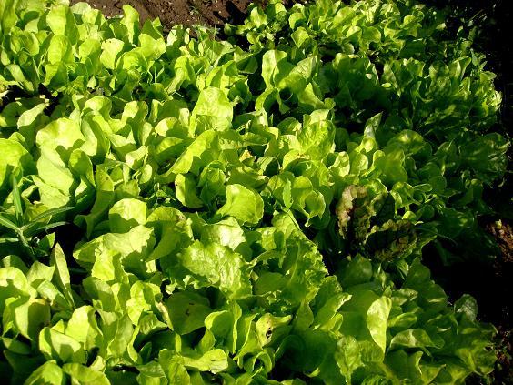 verde salata