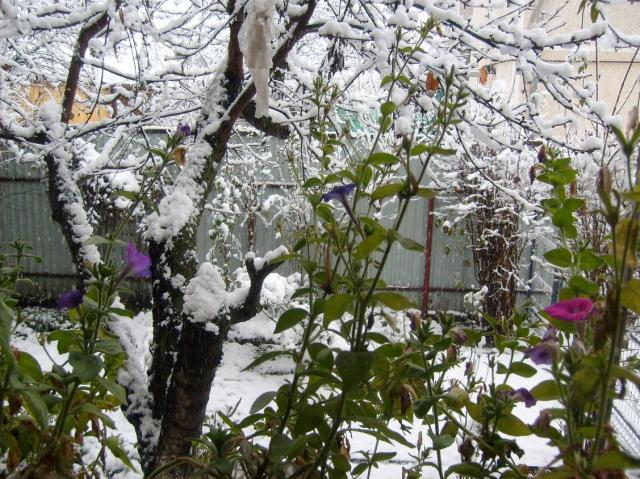 ciresul nins