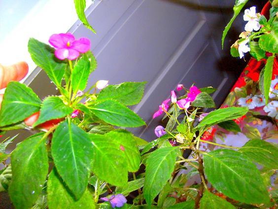 inca flori
