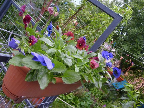 jardiniera cu panselute